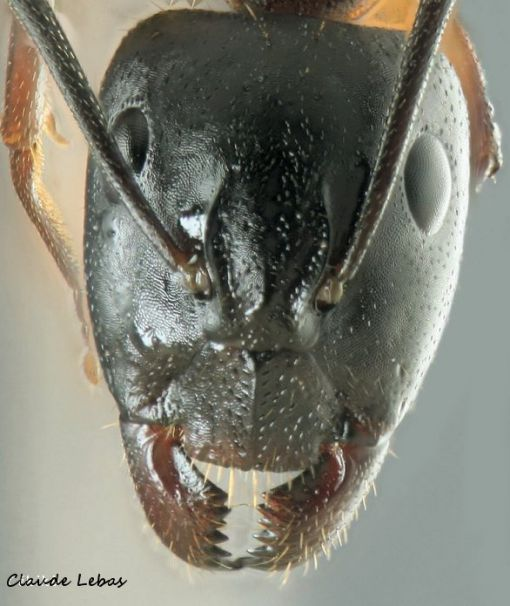 major de Camponotus sylvaticus